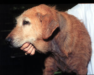 Dog_with_Malassezia_dermatitis